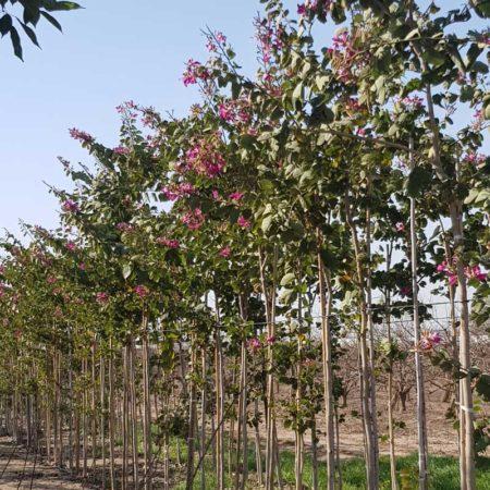 בוהיניה בלאקיאנה שטחי גידול