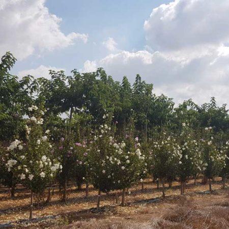 הבסקוס סורי שטחי גידול