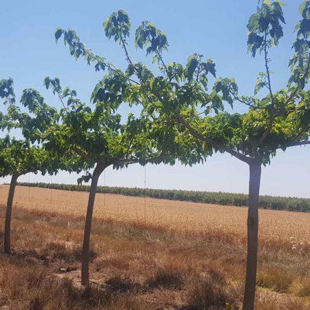 תות דולבני קגיאמה