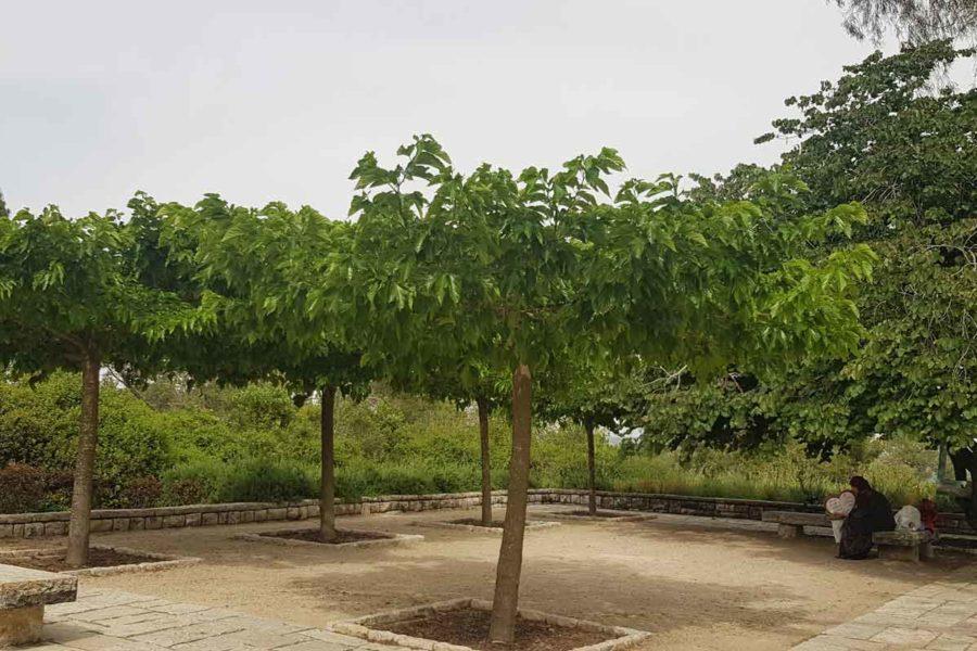 תות דולבני קגיאמה רמת הנדיב